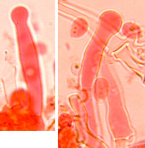 Cystides capitées, épaissies à la base