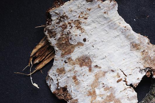 Hypochnicium cremicolor