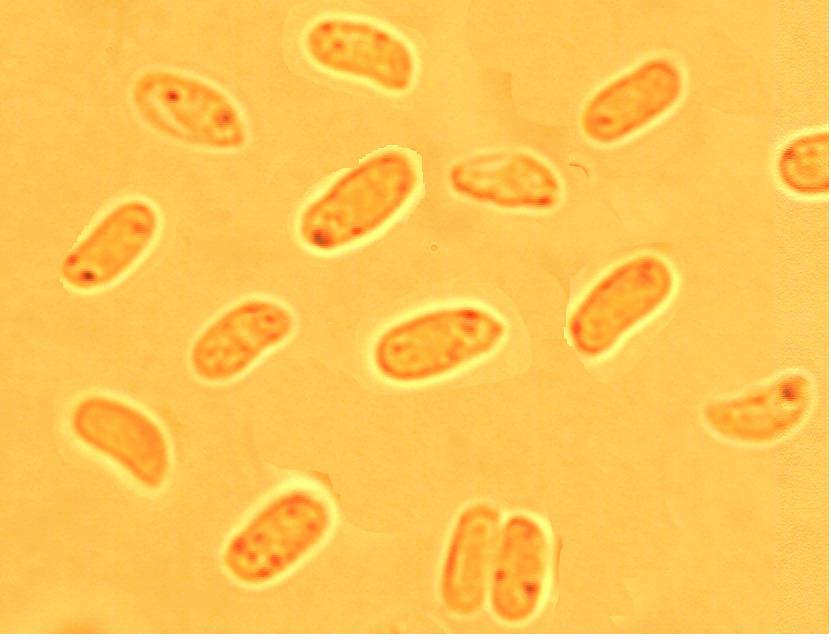 Spores ellipsoïdes à sub cylindriques, (4.7/6.2)x(2.0/2.6) µm, lisses à paroi mince.