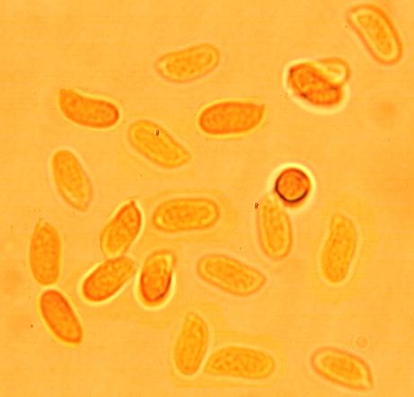 Spores ellipsoïdes, (5.3/7.1) x (2.8/3.3) µm, lisses à paroi mince