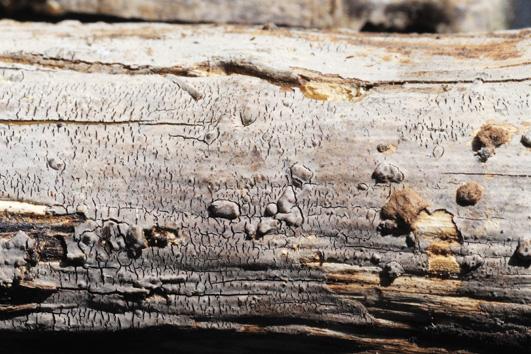 Fructification résupinée, étroitement fixée au support formant des revêtements minces. Surface hyméniale lisse à légèrement verruqueuses, mate, gris-lilas à bleu-gris palissant dans la vieillesse. Marge indéterminée dans la jeunesse. Fructifications souvent fendillées. Sur bois mort de feuillus.