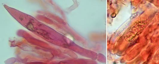 Gloeocystides à paroi mince , noircissant en présence de sulfo-vanilline (SV+)