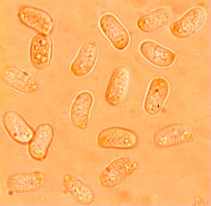 Spores cylindriques à ellipsoîdes, lisses à paroi mince. (8.5/10.5) x(4.3/5.6) µm