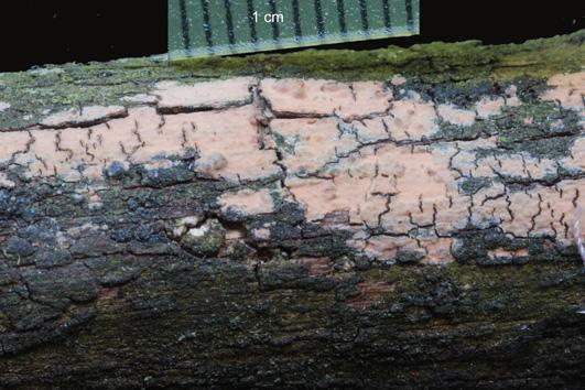 Fructification résupinée, étroitement fixée au substrat, formant des revêtements de quelques centimètres à quelques décimètres de diamètre. Surface hyméniale lisse ou irrégulièrement bosselée orange-rouge. Marge plus ou moins limitées Sur bois morts de feuillus
