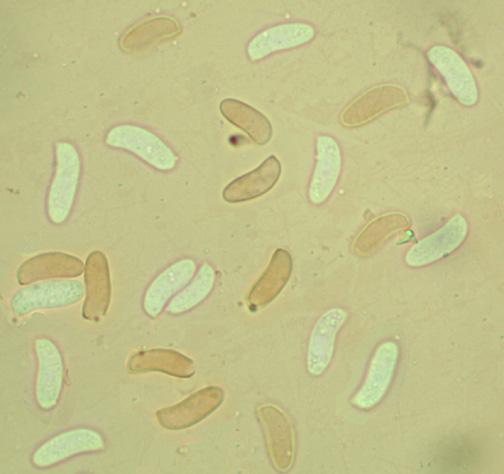 Spores cylindriques, allantoïdes, lisses, à paroi mince. +6(9.8/12) x (2.9/3.9) µm